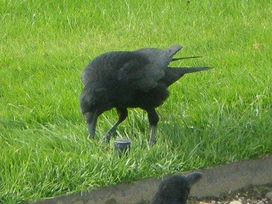Crows in Paris