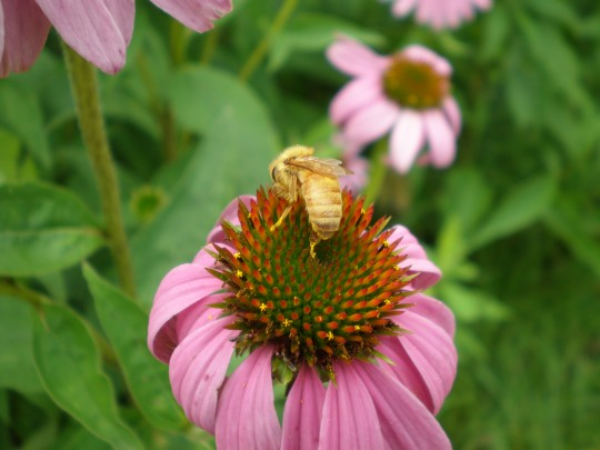 Pink flower and yellow bee