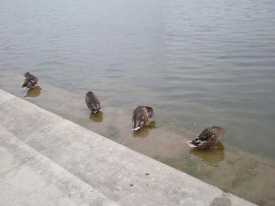 Four ducks a bathing...