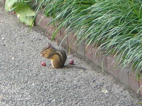 Chipmunk at lunch