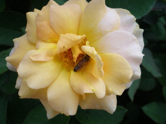 Rose with her bee friend