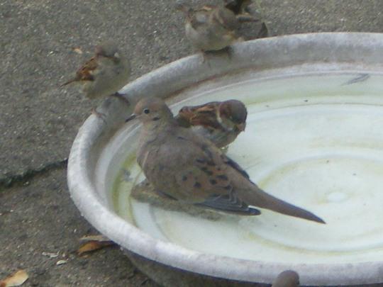 Dove and sparrow in birdbath