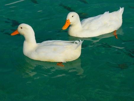 duck-15026__340