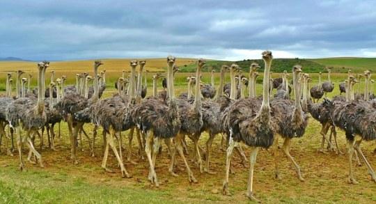 ostriches-838976__340