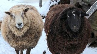 sheep-1237460__180